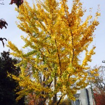 Farewell to the Glenwood South Ginkgo